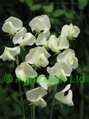 Sweet Pea Mrs Collier